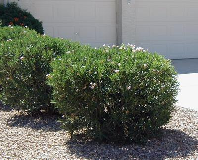 Az nativescapes landscaping installation and remodeling for Hardy low maintenance shrubs